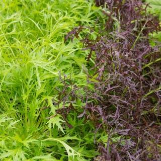 Baby Leaf - Mizuna - mieszanka odmian
