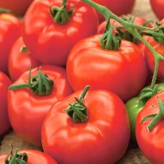 Pomidor Orkado F1 - gruntowy, wysoki