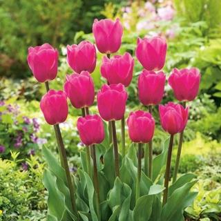 Tulipan różowy - Rose - duża paczka! - 50 szt.