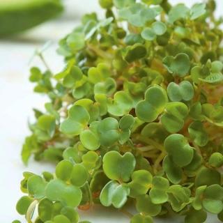 Nasiona na kiełki - Gorczyca sarepska