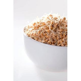 Nasiona na kiełki - Pszenica