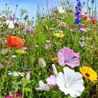 Mieszanka roślin dziko rosnących jednorocznych i wieloletnich - łąka kwietna - 250 gram