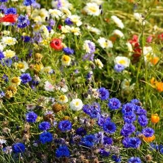Mieszanka roślin dziko rosnących jednorocznych i wieloletnich - łąka kwietna - 500 gram