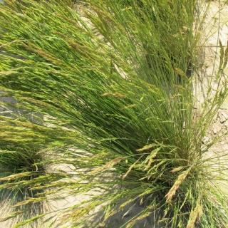 Kostrzewa czerwona rozłogowa Rossinante - 5 kg