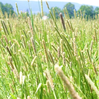 Tymotka łąkowa Kaba - 1 kg