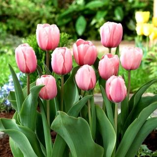 Tulipan Salmon Impression - 5 szt.