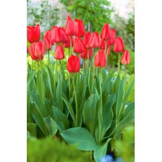 Tulipan Parade - 5 szt.