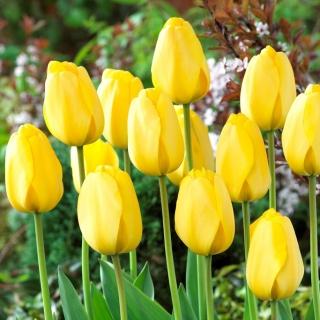Tulipan Golden Parade - 5 szt.