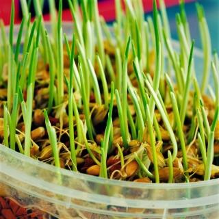 Nasiona na kiełki - Jęczmień