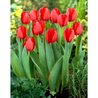 Tulipan Red Impression - duża paczka! - 50 szt.