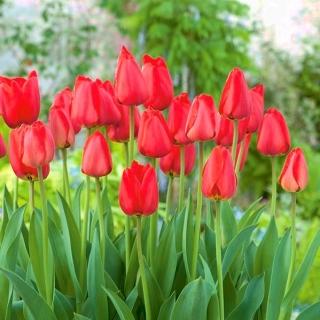 Tulipan Parade - duża paczka! - 50 szt.