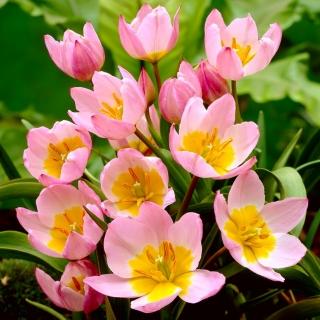 Tulipan botaniczny - Lilac Wonder - 5 szt.