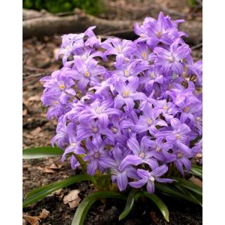 Śnieżnik lśniący fioletowy - Chionodoxa Violet Beauty - 10 szt.