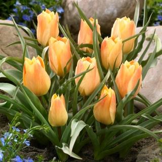 Tulipan Batalinii Bright Gem - duża paczka! - 50 szt.