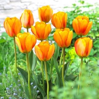 Tulipan Blushing Apeldoorn - 5 szt.