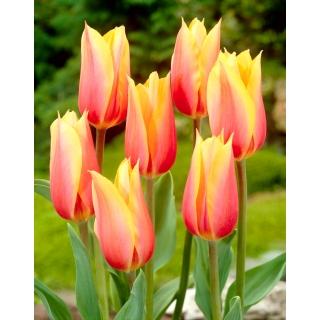 Tulipan Blushing Beauty - 5 szt.