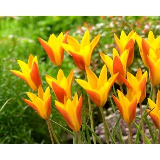 Tulipan Chrysantha Tubergen's Gem - duża paczka! - 50 szt.