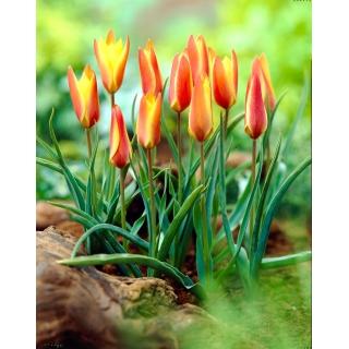 Tulipan Clusiana Sheila - duża paczka! - 50 szt.