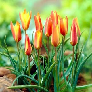 Tulipan Clusiana Sheila - 5 szt.