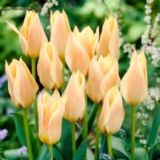Tulipan Für Elise - 5 szt.