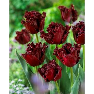 Tulipan Labrador - 5 szt.
