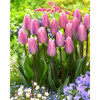 Tulipan Light And Dreamy - 5 szt.
