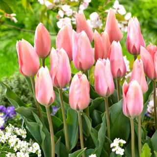 Tulipan Poco Loco - 5 szt.