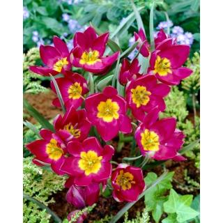 Tulipan Pulchella Odalisque - 5 szt.