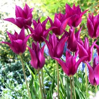 Tulipan Purple Dream - duża paczka! - 50 szt.