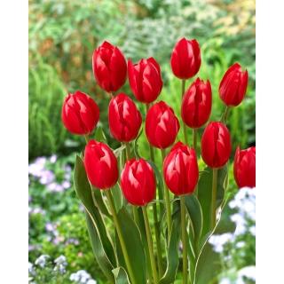 Tulipan Temptation - 5 szt.