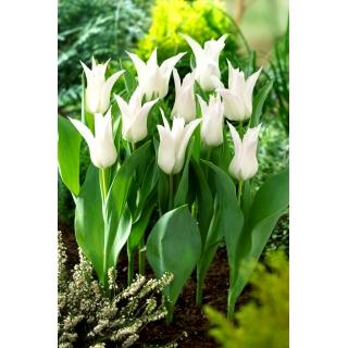 Tulipan Tres Chic - duża paczka! - 50 szt.