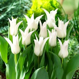Tulipan Tres Chic - 5 szt.