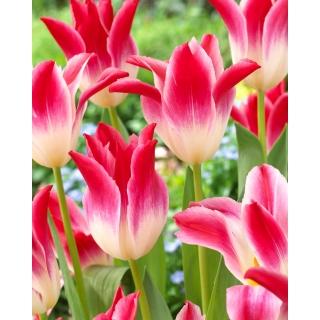 Tulipan Whispering Dream - 5 szt.