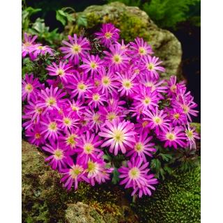 Zawilec grecki - Violet Star - 8 szt.