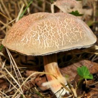 Podgrzybek złotawy – żywa grzybnia – większe opakowanie