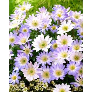 Zawilec grecki - zestaw 2 odmian w kolorze białym i niebieskim - 80 szt.