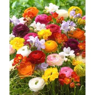Jaskry i frezje - zestaw różnokolorowych roślin - 100 szt.