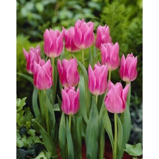 Tulipan China Pink - duża paczka! - 50 szt.