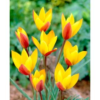 Tulipan Chrysantha - duża paczka! - 50 szt.