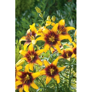 Lilia - Yellow & Brown - duża paczka! - 10 szt.