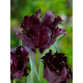 Tulipan Black Parrot - duża paczka! - 50 szt.