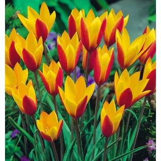 Tulipan botaniczny - Cynthia - duża paczka! - 50 szt.
