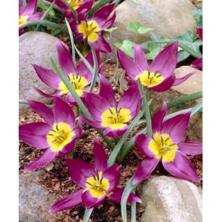 Tulipan botaniczny - Eastern Star - duża paczka! - 50 szt.