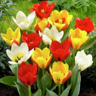 Tulipan botaniczny - niski - mix kolorów - duża paczka! - 50 szt.
