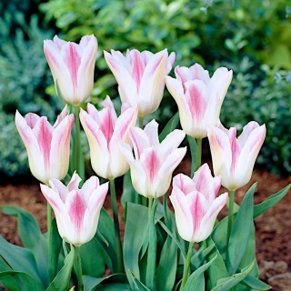Tulipan Holland Chic - duża paczka! - 50 szt.