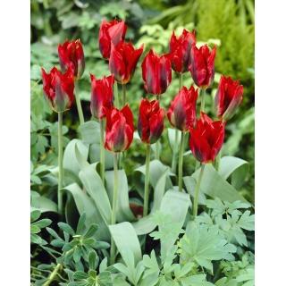 Tulipan Hollywood - duża paczka! - 50 szt.