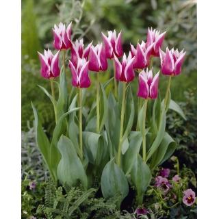 Tulipan liliokształtny Claudia - duża paczka! - 50 szt.