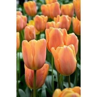 Tulipan Daydream - duża paczka! - 50 szt.