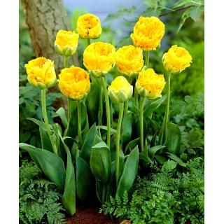Tulipan lodowy - Beauty of Apeldorn - duża paczka! - 50 szt.