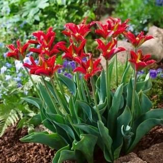 Tulipan Eye Catcher - duża paczka! - 50 szt.